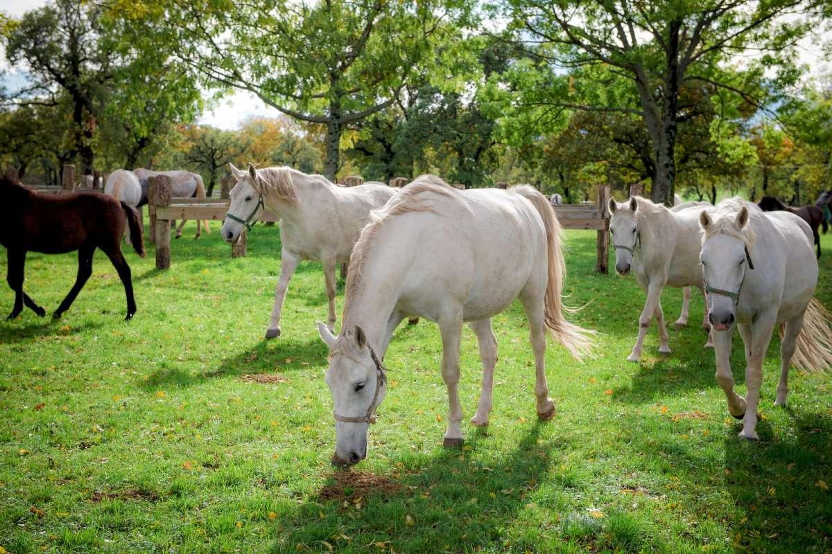 Visita-Lipica-con-Ekorna, Lipica, horses, www.slovenia.info, Dean Dubokovič-1200