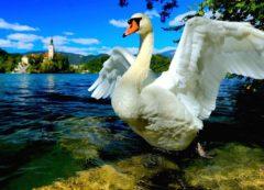Lago de Bled con sus cisnes