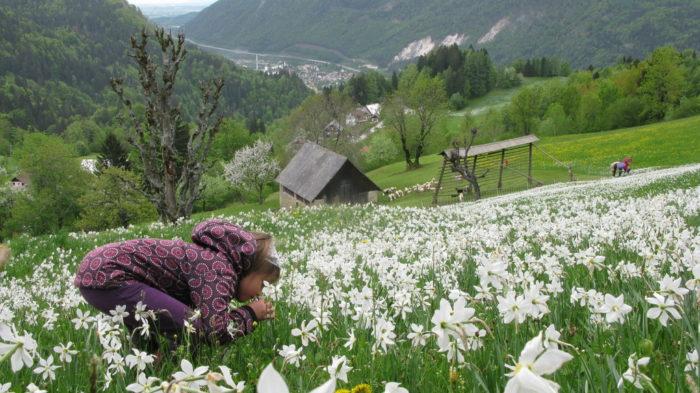 Campos repletos de Narcisos en Jesenice