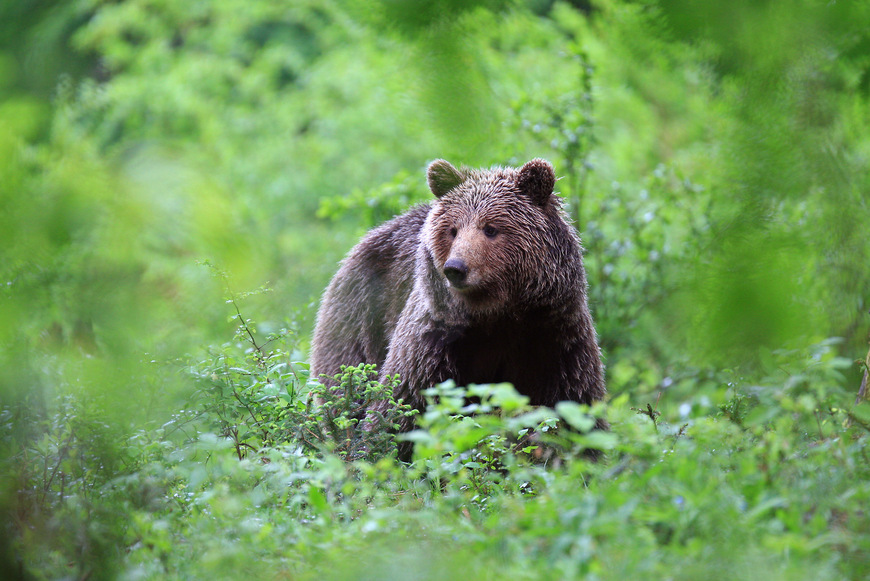 Brown bear safari in Slovenia