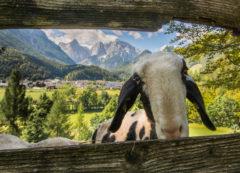 Oveja en el Valle Logarska, Eslovenia