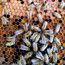 Cría de las abejas
